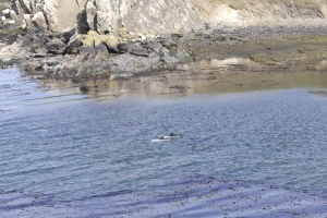Commerson's dolphins in the same bay that the wounded from the Sir Galahad and Sir Tristram were brought ashore