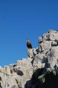 A local bird of prey: the cara cara