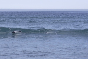 Commerson's dolphins surfing at Bertha's Beach