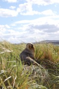Sealion on Tussock Grass, Gypsy Cove