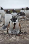 Feeding the young (Gentoo)