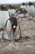 Feeding the young gentoo chick