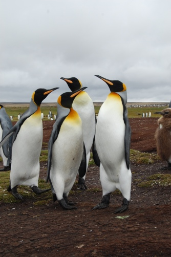 The King Penguins; the largest species here