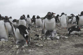 The Bertha's Beach Gentoo colony - now including chicks!