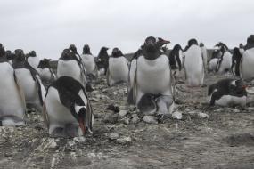 The Bertha's Beach Gentoo colony - now including chicks!