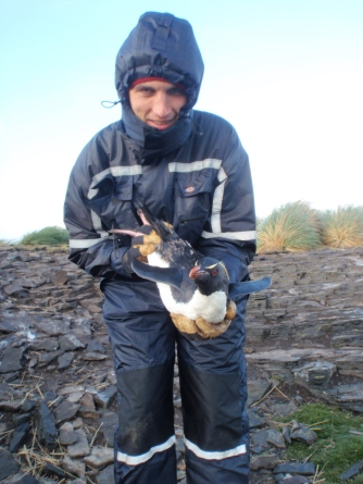 My favouraite - holding the characterful Rockhopper having relieved it of its GPS anklet. Their numbers have diminished by 90% in the last 30 years.