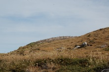This gentoo colony had found itself up a hill