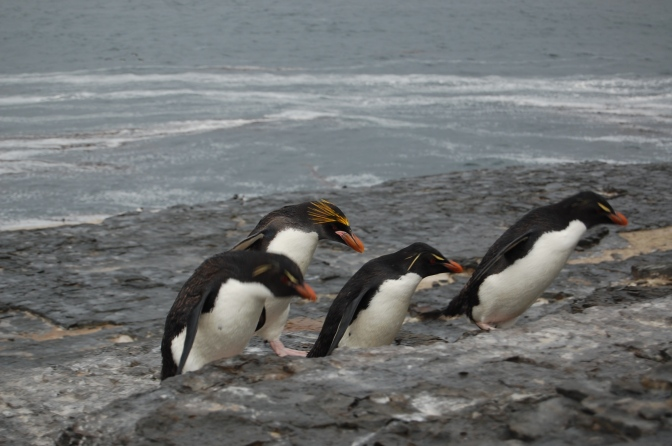 Our first spotting of the rare Macaroni penguin with its distinctive monobrow. They live with the Rockies and have been known to interbreed