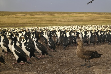 Skuas look to steal eggs and chicks and are a constant menace to the cormorants