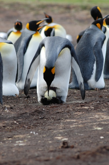 The Kings breed on a different timescale to the other penguins so eggs are still around