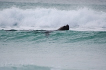 A sizable sea lion made an appearance nearby