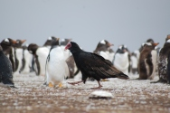 A turkey vulture makes use of the Gentoo colony