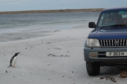 A Gentoo at the Point isn't quite sure about Toyotas