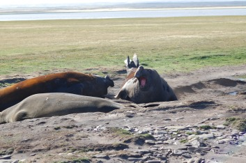 The Elephant Seals are usually docile.