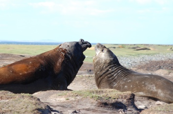 The nose that gives the Elephant Seal its name
