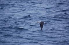 Plenty of the endangered Black Browed Albatross hanging about too
