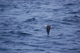 Plenty of the endangered Black Browed Albatross hanging about too