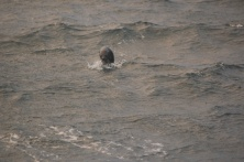 Blurry but this fur seal also came ot check us out