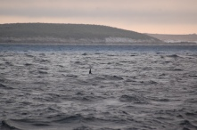 Either Fin or Sei Whales (we're not sure) made their appearance close to the boat