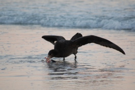 Stinker (Southern giant petrel) eating a Rocky