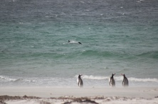 Commerson's dolphins surf regularly at the Beach, with gentoo penguins in the foreground