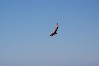 The ever-present turkey vulture