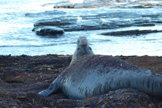 The Elephant Seals cover themselves from the sun