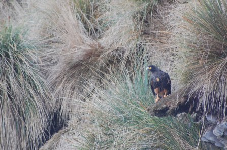 Caracara/Johnny Rook in tussac grass