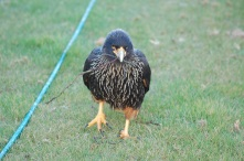 Caracara back at the lodge
