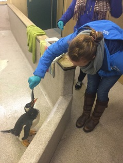 Han helping Conservation take care of an oiled penguin