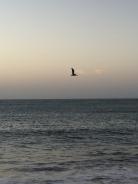 Pelican/Pteradactyl
