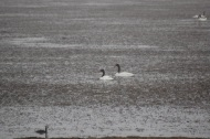black-necke-swans