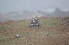 Magellanic penguins, breeding