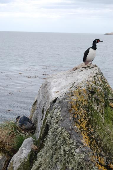 king-cormorant-rock-shag-and-heron