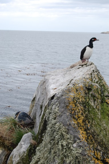 king-cormorant-rock-shag-and-heron