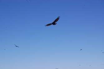 turkey-vulture-flying