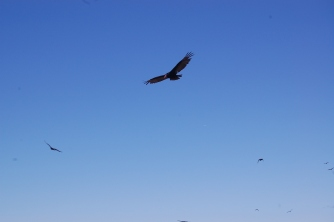 turkey-vulture-flying
