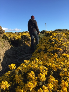 Gorse at Goose Green