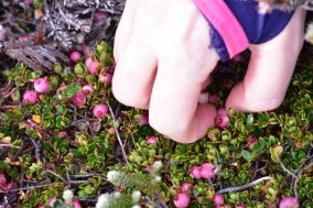 Picking teaberries for a light snack on the move