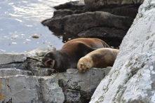 Sea lions basking