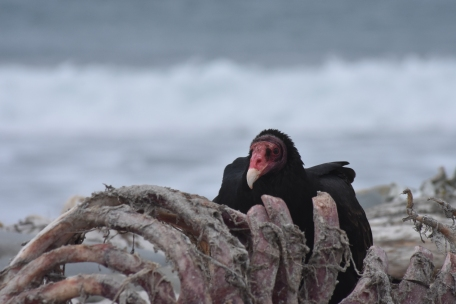 a turkey vulture in its natural environment