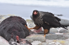 Striated caracara/Johnny Rook - supremely intelligent and curious