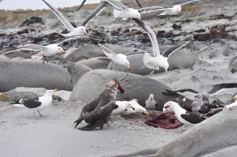 gulls and a Southern Giant Petrel making quick work of a placenta. Nice.