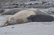 Feeding time: elephant seals produce the richest milk of any mammal so the pups grow FAST