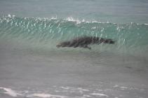 A sealion floats into shore