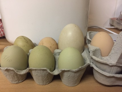 In comparison with our hens' eggs