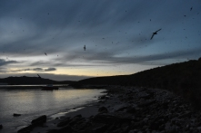 Sooty shearwaters returning to the main beach