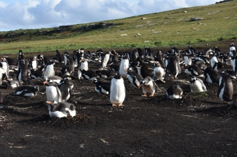 The Carcass gentoo colony