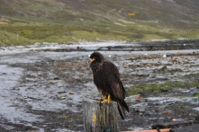 Johnny Rooks/Caracaras are everywhere on Carcass!