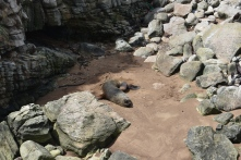A male sealion, now resting safely